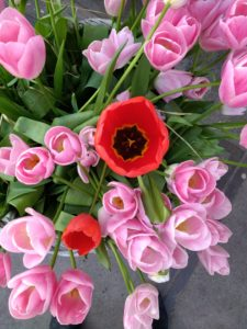 Pink tulips and two red poppies from above.